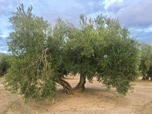 Aceite de Oliva Virgen Extra Picual