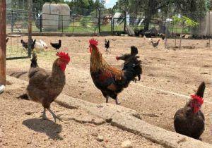 Huevos de calidad producidos de una manera local y honrada, en una granja a tan sólo 80 km de Madrid. Variedad de gallinas en libertad, alimentación natural a base de higos, pimentón de la vera, bellotas, pienso natural y lo que encuentran en el campo. Diferentes tipos de gallinas como la de Guinea.
