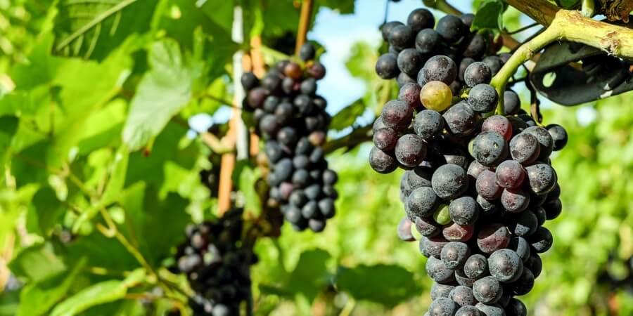 La evolución en el Cultivo de la Vid se debe a las Nuevas Tecnologías. Se busca la calidad del vino con un cultivo y producto ecológico, que favorezca un consumo responsable y sostenible con la Biodiversidad. Viñedos y Bodegas que producen respetando la naturaleza y el Medioambiente.
