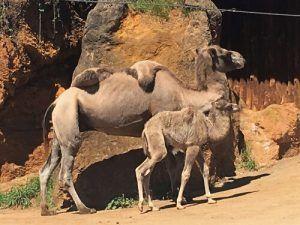 cabárceno-camello-lo mejor de cantabria gastronomía