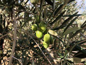 Aceite-de-Oliva-Virgen-Extra-Palacio-de-los-Olivos-Aceitunas