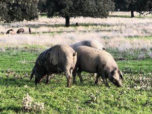Jamón-Ibérico-Dehesa-de-Solana-Cerdo-Ibérico