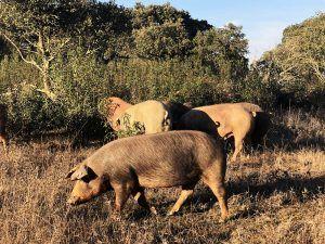 Jamón-Ibérico-Dehesa-de-Solana-Cerdos-Ibéricos