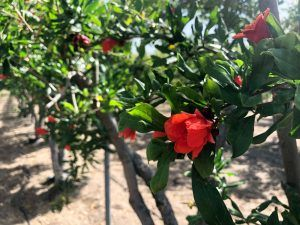 Viajar Chipre - arbol granada