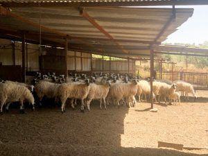 Viajar Chipre - ovejas