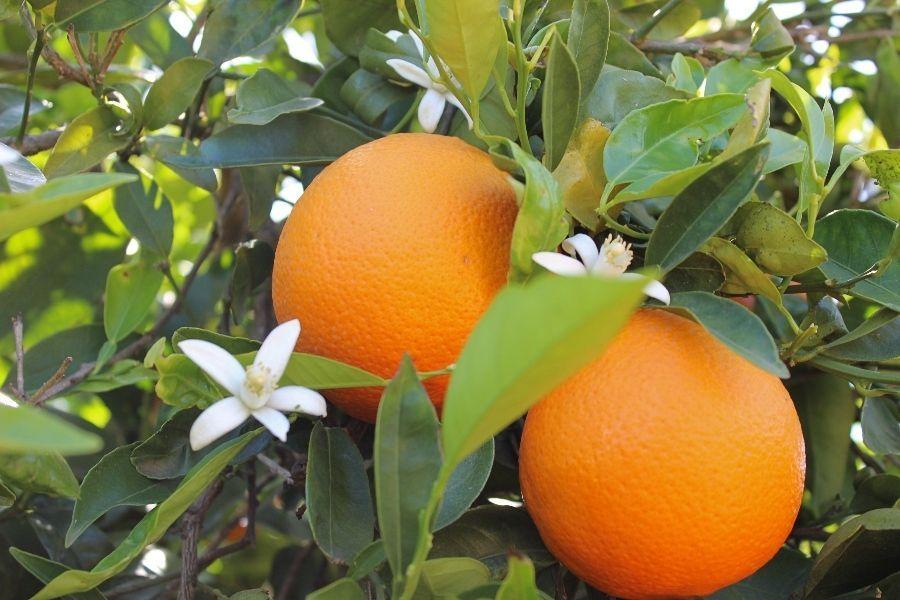 NARANJAS FOIOS comprar fruta y verdura online