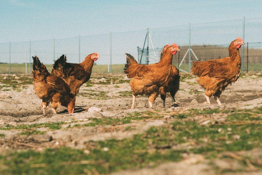 pollo compra online ECOSANCHO
