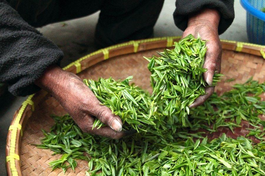 té de calidad planta
