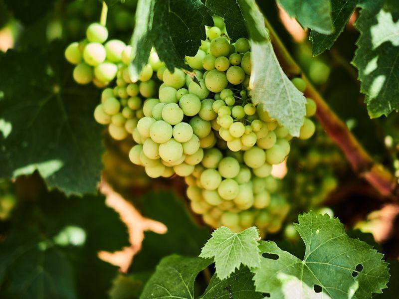 uvas viñedos bodega roger goulart